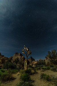 Joshua Tree backlit with a flashlight.