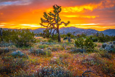 Joshua Tree Spring Symphony #16: Joshua Tree Wildflowers Superbloom: Joshua Tree National Park Fine Art Landscape Nature Photography  Elliot McGucken Fine Art Photography Prints & Luxury Wall Art