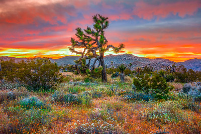 Joshua Tree Spring Symphony #11: Joshua Tree Wildflowers Superbloom: Joshua Tree National Park Fine Art Landscape Nature Photography  Elliot McGucken Fine Art Photography Prints & Luxury Wall Art
