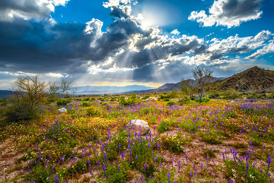 Joshua Tree Spring Symphony #4: Joshua Tree Wildflowers Superbloom: Joshua Tree National Park Fine Art Landscape Nature Photography  Elliot McGucken Fine Art Photography Prints & Luxury Wall Art