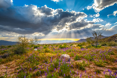 Joshua Tree Spring Symphony #5: Joshua Tree Wildflowers Superbloom: Joshua Tree National Park Fine Art Landscape Nature Photography  Elliot McGucken Fine Art Photography Prints & Luxury Wall Art