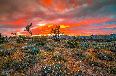 Joshua Tree Spring Symphony #3: Joshua Tree Wildflowers Superbloom: Joshua Tree National Park Fine Art Landscape Nature Photography  Elliot McGucken Fine Art Photography Prints & Luxury Wall Art