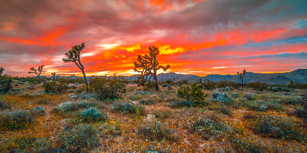 Joshua Tree Spring Symphony #1: Joshua Tree Wildflowers Superbloom: Joshua Tree National Park Fine Art Landscape Nature Photography  Elliot McGucken Fine Art Photography Prints & Luxury Wall Art