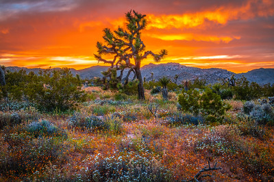 Joshua Tree Spring Symphony #18: Joshua Tree Wildflowers Superbloom: Joshua Tree National Park Fine Art Landscape Nature Photography  Elliot McGucken Fine Art Photography Prints & Luxury Wall Art