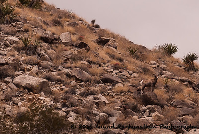 Big Horn Sheep at 49 Palms Oasis