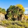 California Fan Palms - Joshua Tree National Park