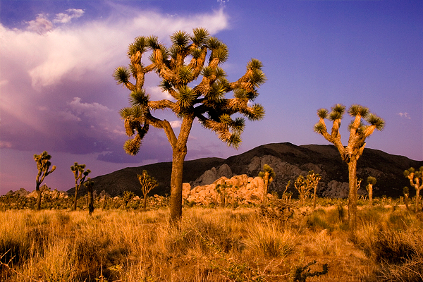 Joshua Trees only actually grow in one half of Joshua Tree National Park. The park consists of both the Mojave (high) desert and Colorado (low) desert. Joshua trees grow in the Mojave.
