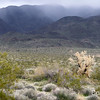 Smoketree during winter storm, Joshua Tree
