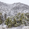 Cottonwood wildflowers in Snow, Joshua Tree. Bladderpod