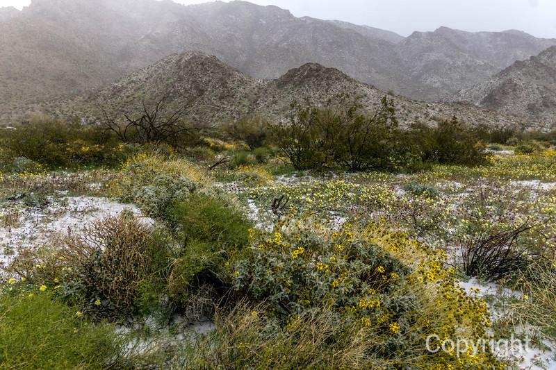 Cottonwood wildflowers in Snow, Joshua Tree