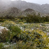 Cottonwood wildflowers in Snow, Joshua Tree
