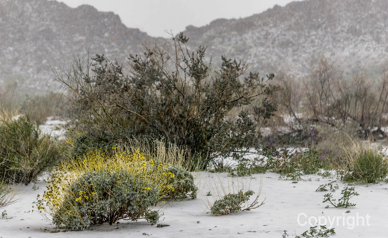 Cottonwood wildflowers in Snow, Joshua Tree. Brittlebush