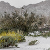 Cottonwood wildflowers in Snow, Joshua Tree. Brittlebush