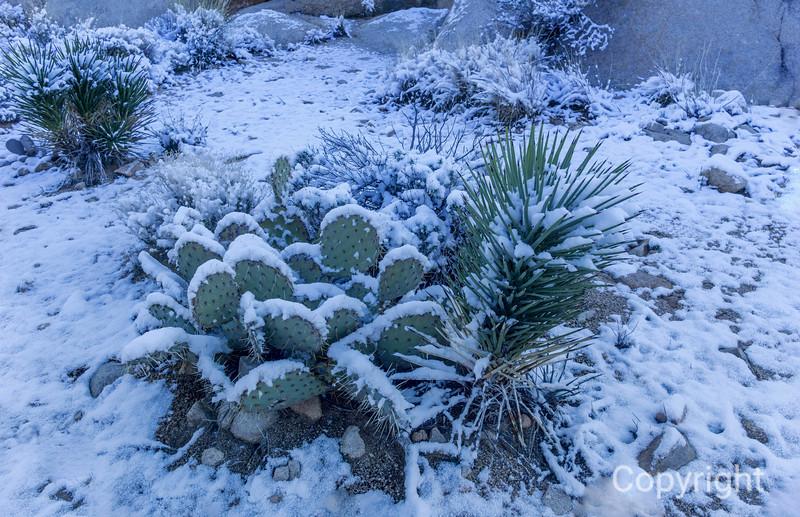Beavertail cactus in Snow, Joshua Tree
