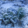 Beavertail cactus in Snow, Joshua Tree