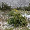 Cottonwood wildflowers in Snow, Joshua Tree. Bladderpod