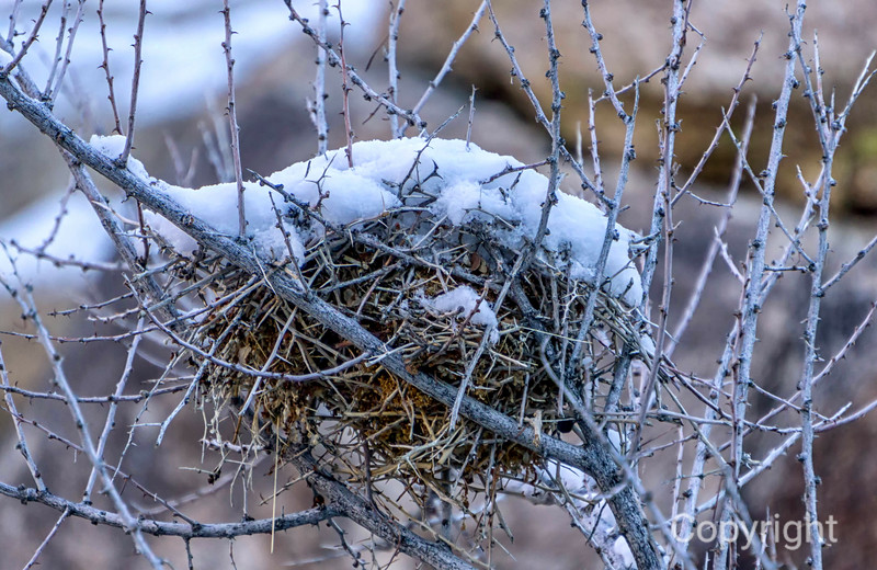 Birds Nest in Snow, Joshua Tree