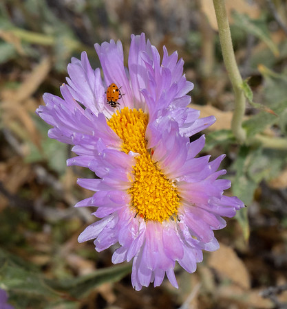 Double mojave aster