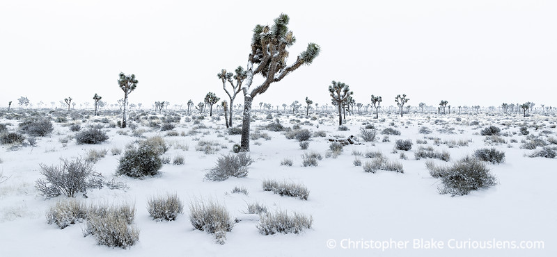Joshua Tree Bright Snow One