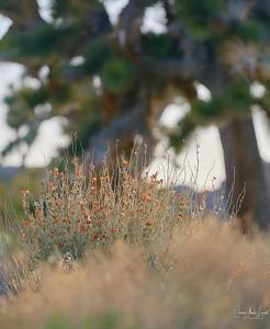 _DSC0422Joshua Tree©CAL ©CAL