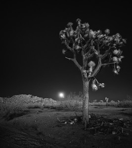 Moonrise with Joshua Tree