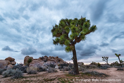 Joshua Tree and Clouds