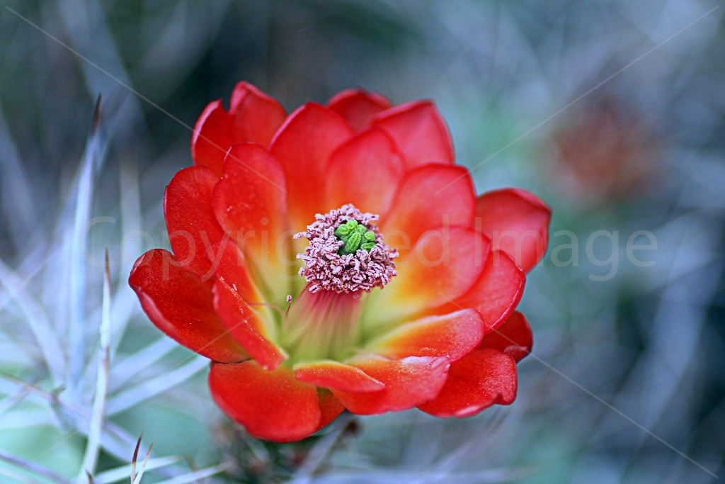Kingcup Cactus Flower