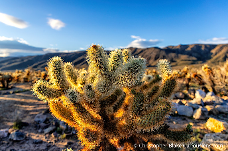 Cholla Cactus Dawn One
