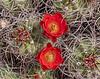 Claret cup cactus blooms