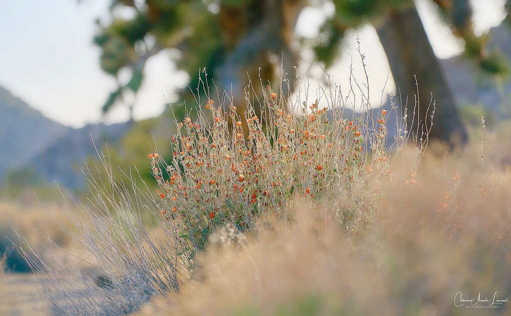 _DSC0423Joshua Tree©CAL ©CAL