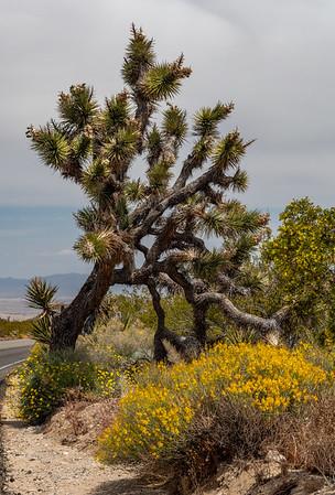 Roadside Joshua tree