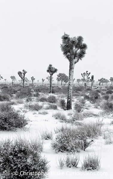 Joshua Tree Bright now Two