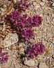 Tiny desert blooms