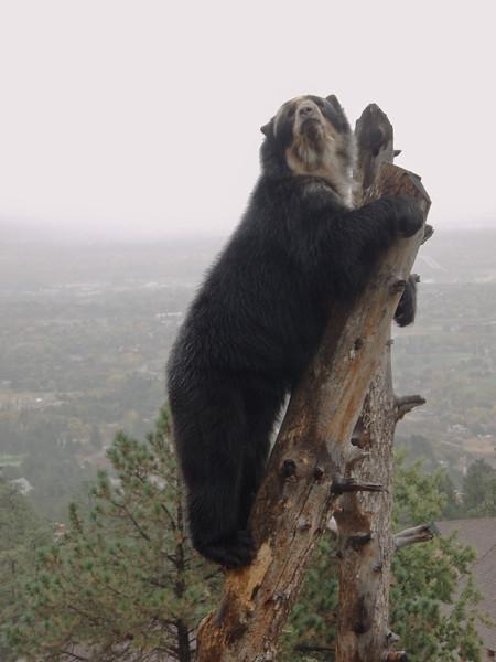 Bear at top of his game