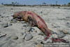 A decapitated, decomposing dolphin found on a beach in Cardiff by the Sea, San Diego, California on April 27, 2009