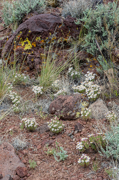 Amidst sagebrush and grasses and flamboyantly lichen splashed rocks, Blackfoot Daisy bloomed.
