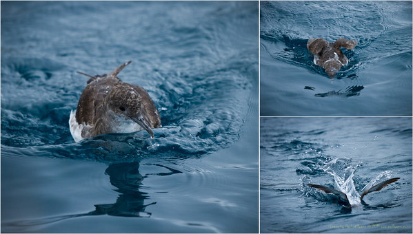 Fluttering Shearwater, Marlborough Sounds. The bird  puts its head underwater to look for fish, then 'submarines' with wings above the water and body below to chase them down.