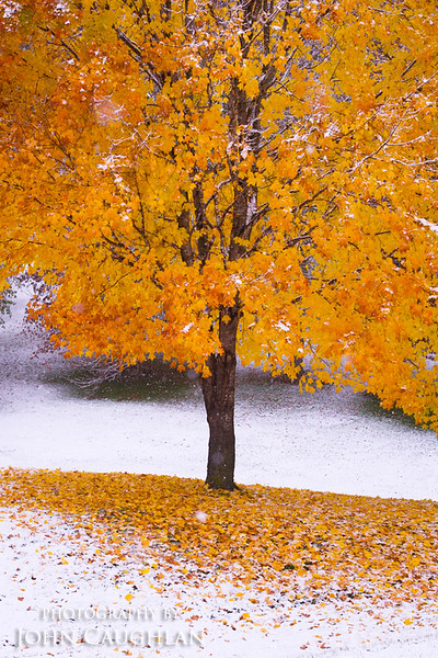 Maple tree and a fresh blanket of snow.