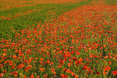 Poppy Field in Hungary