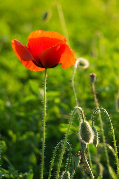 Poppy Field in Hungary