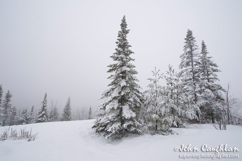 Fresh snow on some winter pines. It doesn't get more winter looking than this.