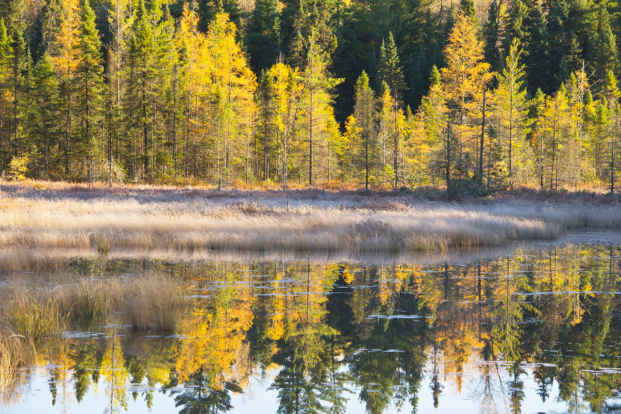 This is a group of tamaracks. Tamaracks are a pine tree that change color and loose their needles. I found this little beaver pond just after sunrise.