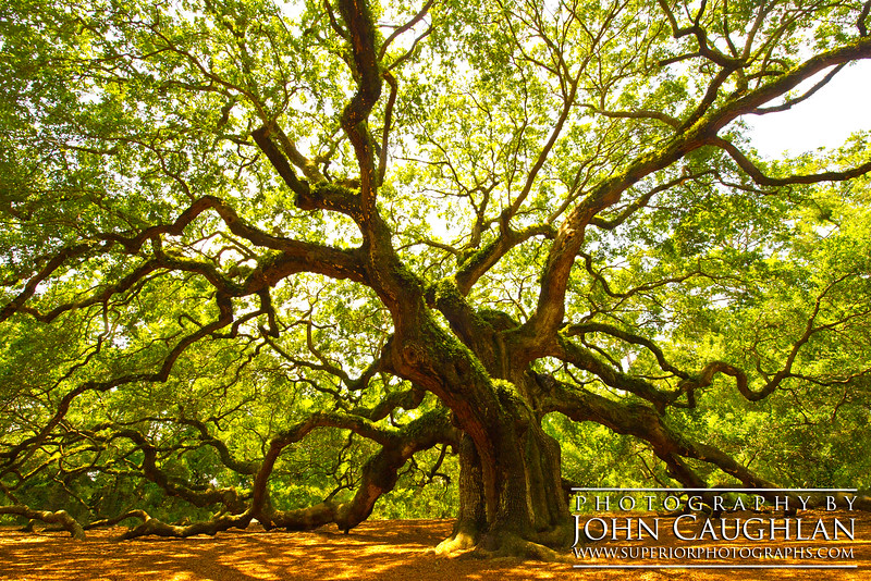 This is the Angel Oak Tree in Charleston, South Carolina. The base of this ancient tree is over eight feet in diameter. This tree is over four hundred years old.