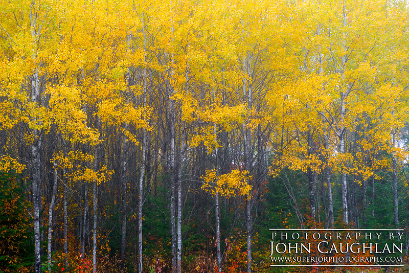 I found this nice grouping of Poplar trees all in their orange splendor.