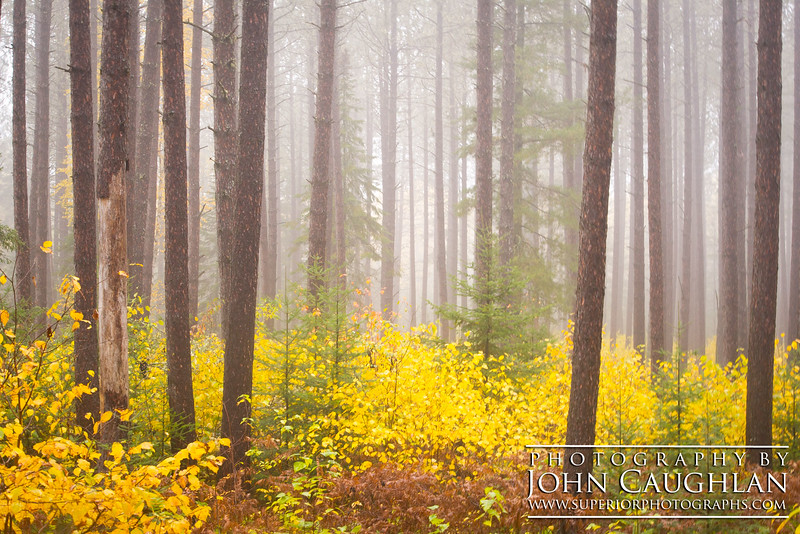 Young yellow birches carpet the forest floor while pine trees stand tall in the fog.