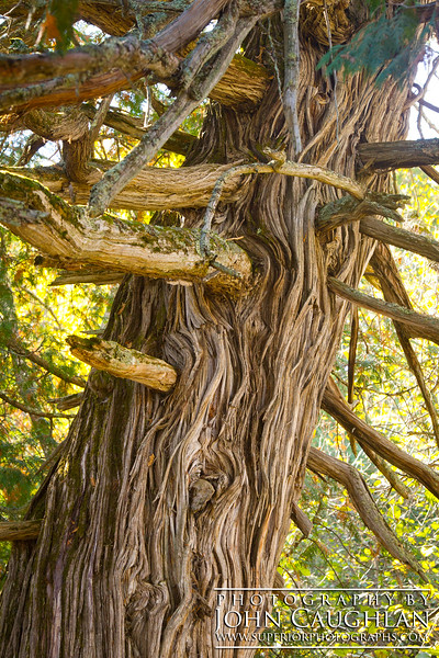 I captured this image while standing directly at the base of the old cedar tree. I love how the branches are so twisted and gnarled.