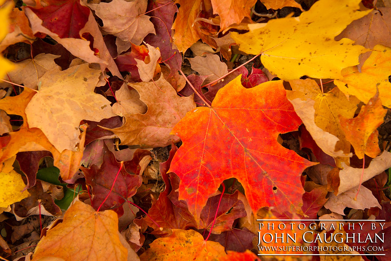 This is a close up of some freshly fallen maple leaves.