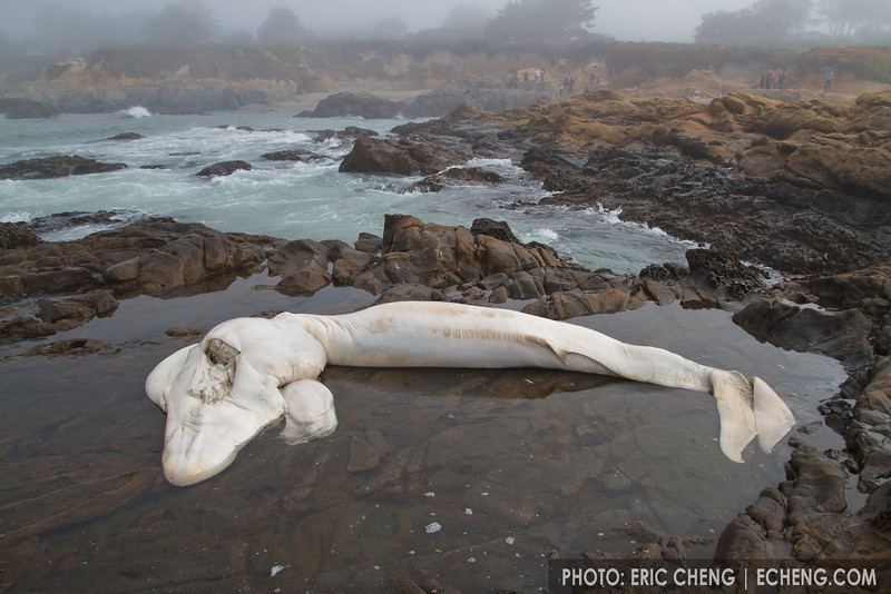 6-month old blue whale fetus(Balaenoptera musculus), which was ejected from its other after a suspected collision with a boat. Bean Hollow State Beach near Pescadero Beach, Northern California. (GPS coordinates: 37.227072, -122.410529)