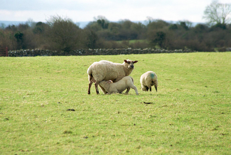ireland sheep2