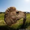 A disembodied camel head haunts Friday Harbor